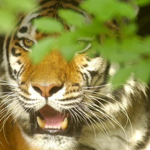 een tijger staart met open bek door het gebladerte